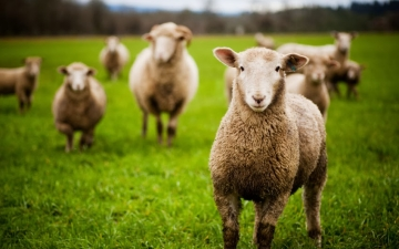 On Being A Shepherd